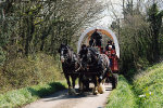 shire horse wagon ride