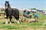 shire horse demonstration