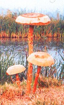 Parasol Wooden Mushrooms